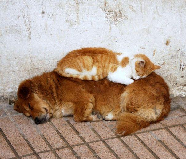 cats_sleeping_on_dogs_15