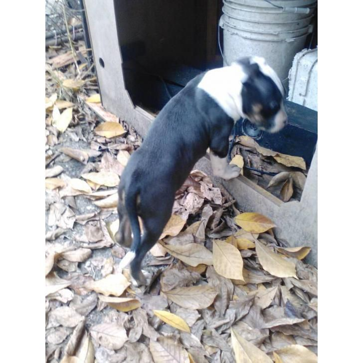 American Pit Bull Terrier Redford, I have a male tri color pitbull puppy hunting for a good home he's about 60 days old tri color is rare u can't beat $300...