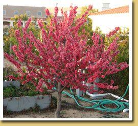 Elberta Peach Ultra Dwarf Patio Fruit Tree