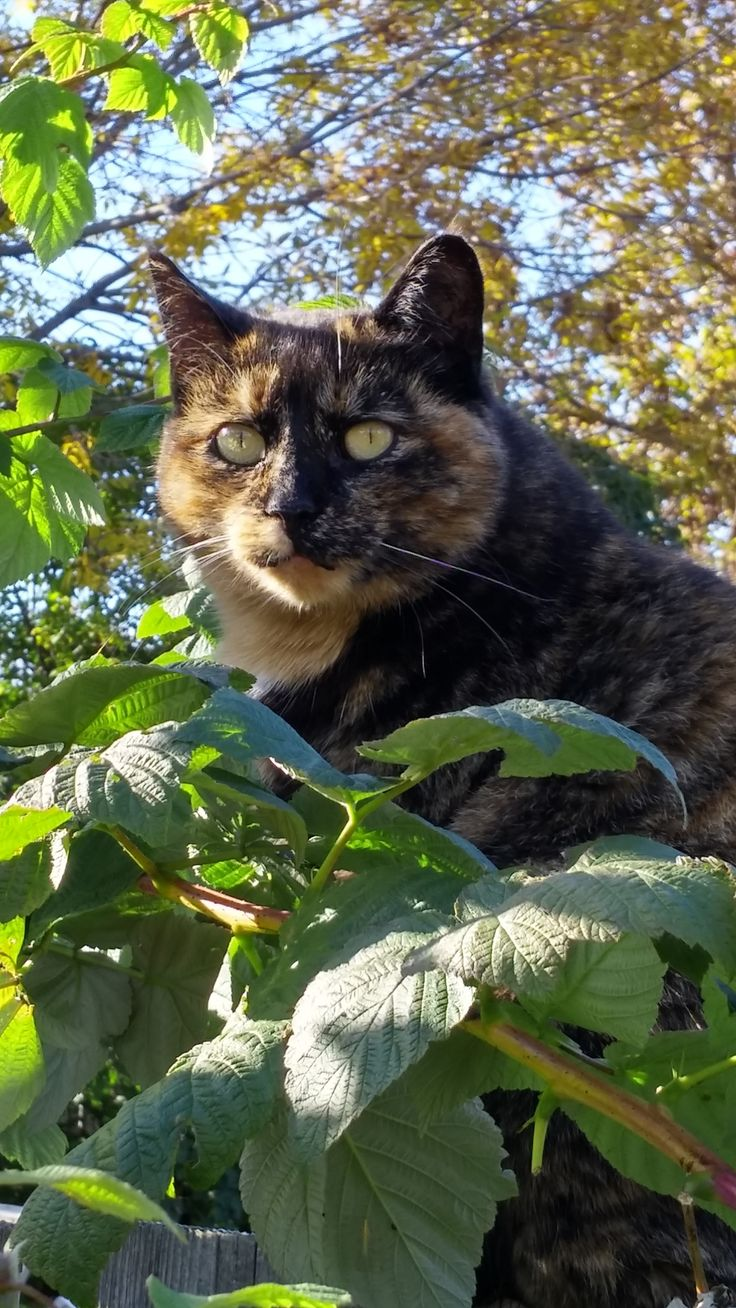 """Meet Bella She's a feral.... but we love her! Had her fixed and released her back in her favorite place """"our back yard"""" 😻"""