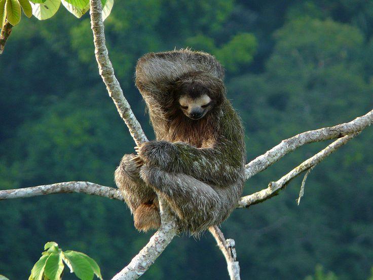 Bradipo - Three-toed sloth