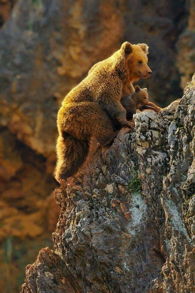 Brown Bear and cub                                                                                                                                                                                 More
