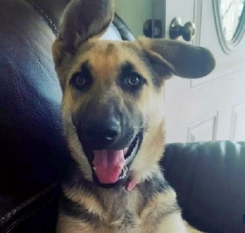 11/4/16 Veteran distraught after German shepherd puppy stolen
