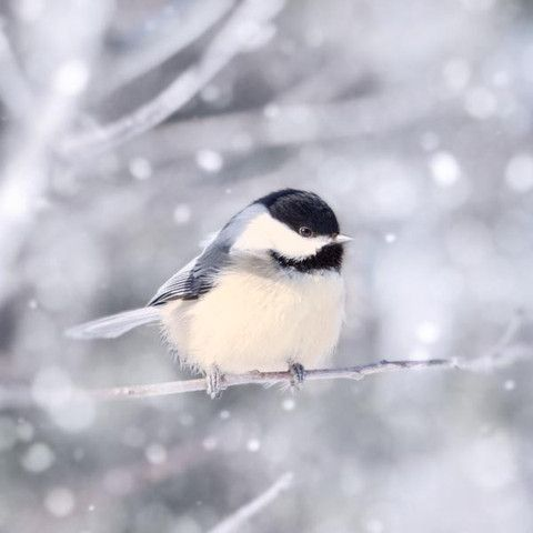 "Fine Art Bird Photography Print ""Chickadee in Snow No. 11"""