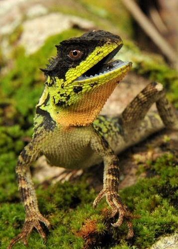 Acanthosaura lepidogaster - Green Mountain Horned Dragon