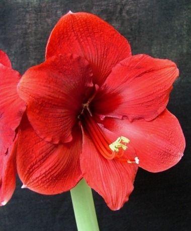Amaryllis Miracle - Christmas Flowering Single Amaryllis - Amaryllis - Fall 2014 Flower Bulbs