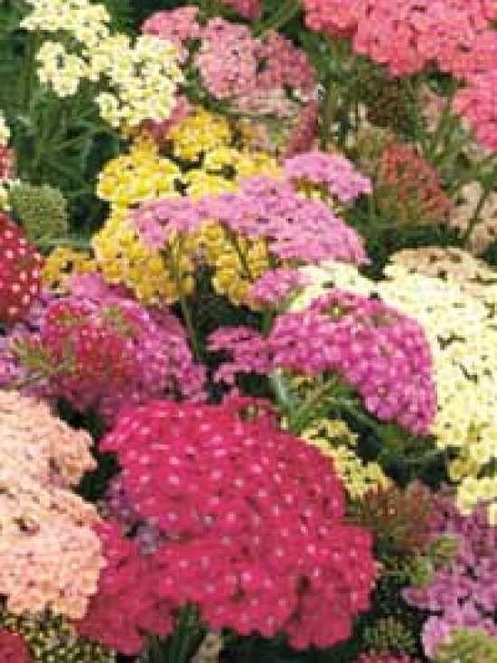 Achillea Summer Pastels Yarrow   Achillea millefolium 'Summer Pastels' , Schafgarbe 'Summer Pastels ...
