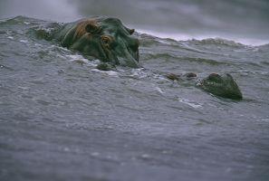 Surfing Hippos