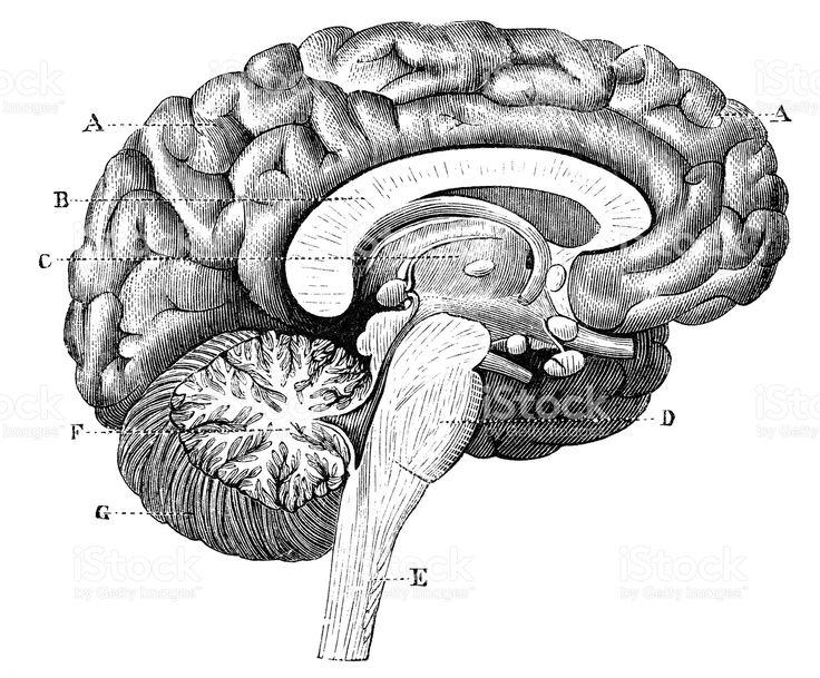 Antigo científica médica Ilustração alta resolução: Cérebro seção Perfil vetor e ilustração royalty-free royalty-free