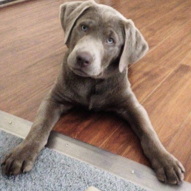 A silver labrador like Graphite