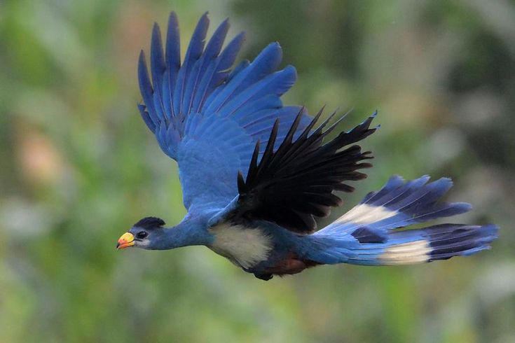 Great Blue Turaco - Corythaeola cristata - szyszak / Turaco-Azul-Grande Photo by Christopher Blachowiak
