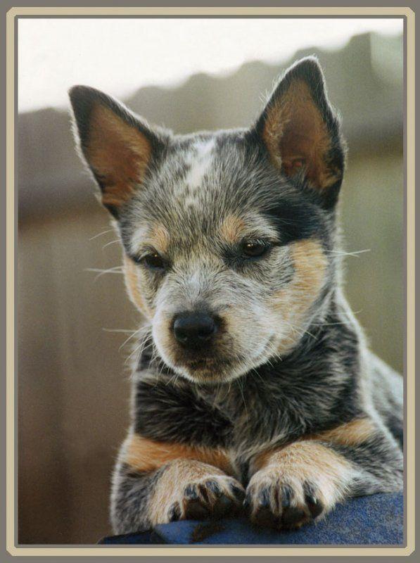 Cool Australia Chubby Adorable Dog - d26decf8f93c4f03649a52094b45d962--blue-heelers-australian-cattle-dog  HD_642917  .jpg