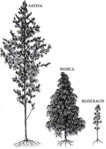 """PLANTAS DE MARIHUANA Y CARACTERÍSTICAS Podemos dividir los tipos de plantas de Marihuana en tres categorías diferentes básicas; Cannabis sativa, Índica o Ruderalis. Aunque no podemos decir que sean las únicas categorías puesto que la mas común es la categoría de """"Híbridos"""", que no es otra cosa que el cruce entre plantas de cualquiera de las tres primeras categorías citadas."""