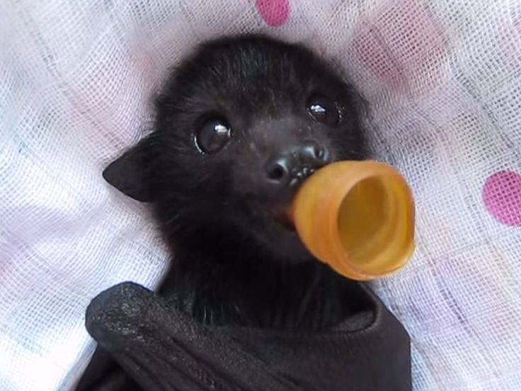 Orphaned Flying Fox Receives Massage, Lights Up Our Lives (VIDEO) http://www.peoplepets.com/people/pets/article/0,,20905563,00.html