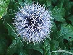 De bloem van de kogeldistel