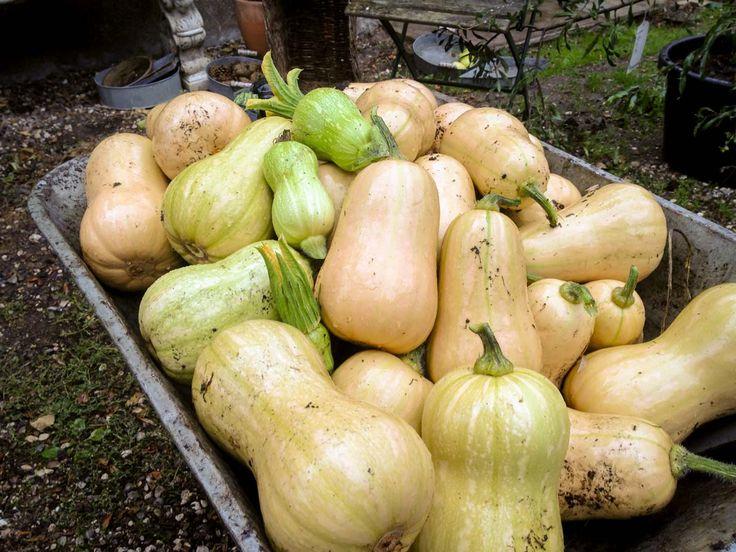 En god høst af Butternutsquash fra køkkenhaven