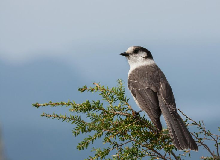 Canada, meet your national bird.With 450 species in the country to choose from, Canadian Geographic's decision was made neither lightly nor quickly. A Canadian/Whiskey or Grey Jay.