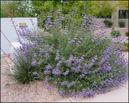 Chaparral Sage Evergreen Desert Shrub With Tall Stalks Of