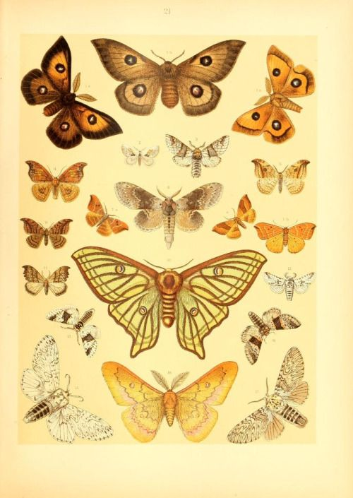 heaveninawildflower:  Illustrations of Lepidoptera taken from 'Die Schmetterlinge Europas'  by Arnold Spuler and Ernst Hofmann. Published 1908 by E. Schweizerbart.  Smithsonian Libraries    Biodiversity Heritage Library.   archive.org