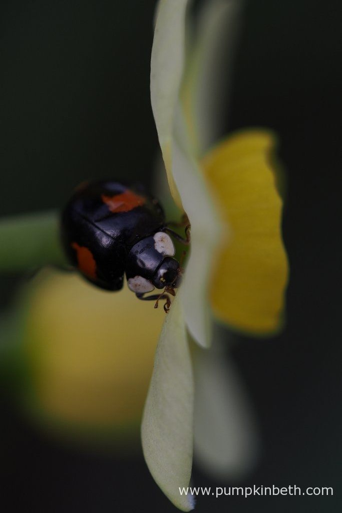 Pictured during my 2017 Scented Daffodil Trial, a ladybird resting on Narcissus 'Minnow'.