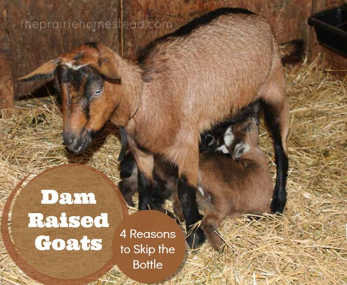 Dam Raised Goats: 4 Reasons to Skip the Bottle via The Prairie Homestead