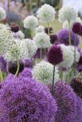 Allium Border Mix -Bulbs