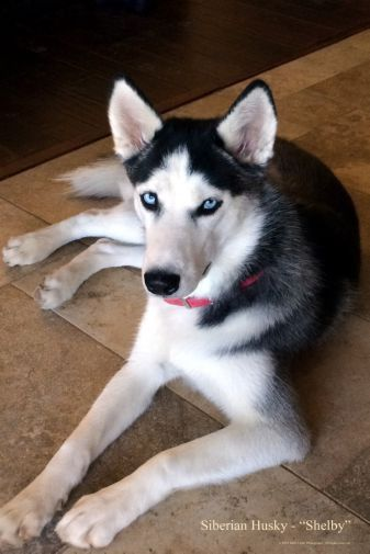 Best Huskiez Images On Pinterest Dogs Siberian Huskies - Guy quits his job to go on epic adventures with his husky
