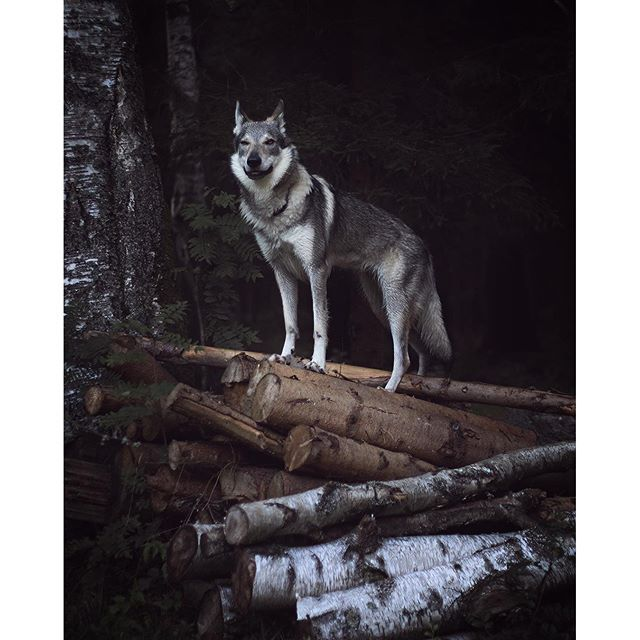 Wolf, wolfdogs and wolf hybrids are essential. Follow un on our travels on www.travelwithmaya.com #travelwithmaya #hikingwithdogs #stayandwander #roamtheplanet #czechoslovakianwolfdog #lifeofadventure #adventurethatislife #camping #campingwithdogs #hiking #czechoslovakianwolfdog #lifeofadventure #adventurethatislife #wolfodg #dog #wolf