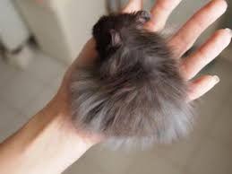 syrian hamster long hair - Google Search