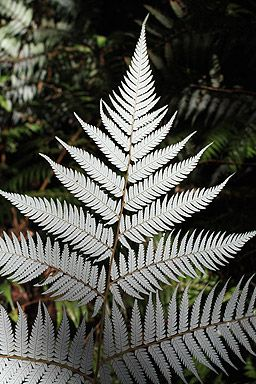 Silver Fern - under side, NZ.