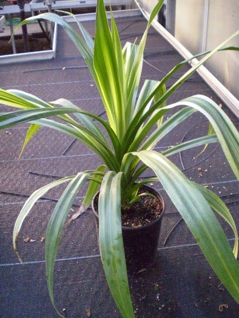 Plants are the Strangest People: Chuck Cunningham (Pandanus veitchii and P. utilis)