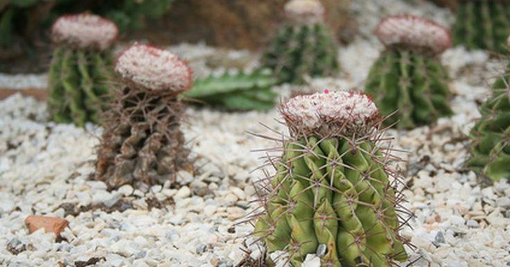 """Como identificar cactus que florescem. O cacto é uma planta carnuda, o que significa que ela é feita de um pedúnculo suculento onde armazena água. Esse pedúnculo é geralmente complementado por """"folhas"""" adicionais, e muitas vezes flores. Como plantas de deserto, elas nem sempre usam energia e água na floração. Aquelas que realmente florescem produzem flores belas e brilhantes. ..."""