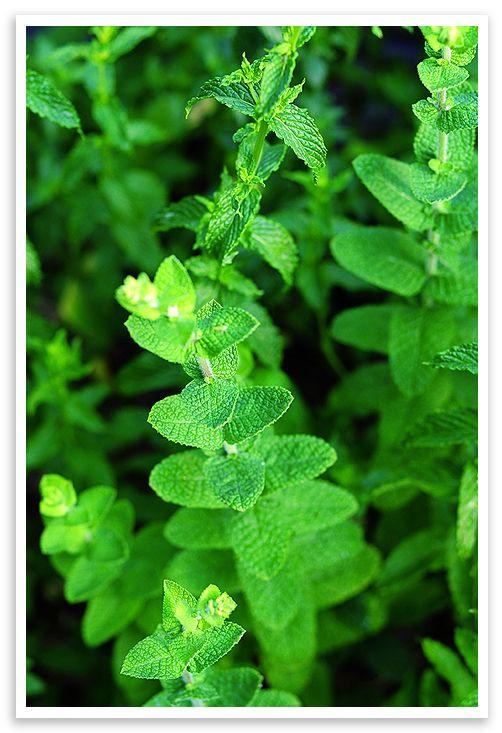 Mint Mint, lovely Mint!Growing Mint, Such As, Mojito, Teas Pots, Mint Flower, Tea Pots, Mint To Be, Ice Teas, Children Gardens