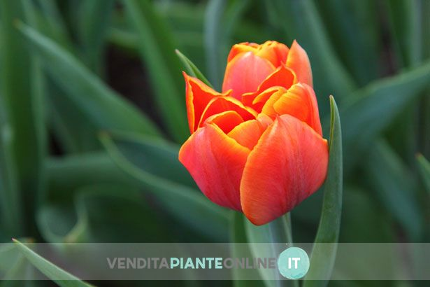 Tulipani di moltissimi colori e varietà