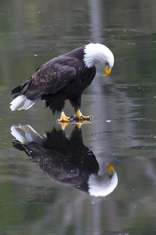 """Eagle on Ice""  ~  Photo by James Geddes:  ""This eagle seems to be pondering his reflection in the ice. What is he thinking? Does he realize it is a reflection? Or is he peering through the ice to the fish below  ."" 