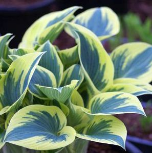 autumn frost hosta - Bing Images I love the markings on this new type of Hosta