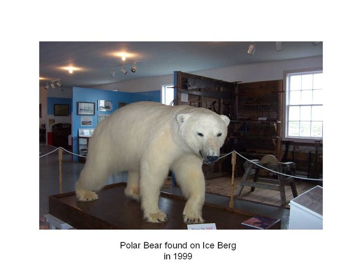 Polar bear at Museum, came on an iceberg