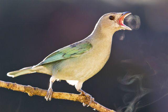 Photo Sayaca Tanager (Tangara sayaca) by Sergio Gregorio | Wiki Aves - The Encyclopedia of Brazilian Birds