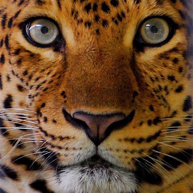 Malacca Butterfly Park - Leopard(5) by Kusou Gallery, via Flickr