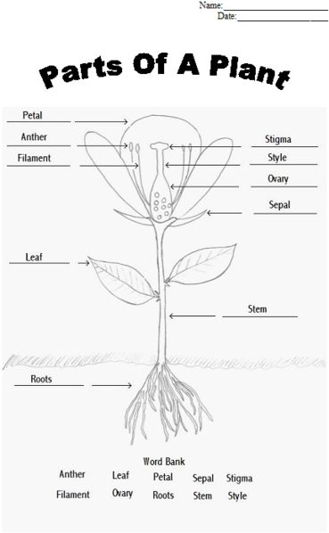 Parts of a plant worksheet. Find a flower to dissect and glue appropriate parts to sheet.