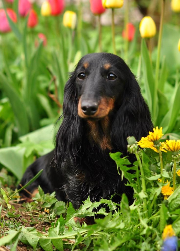 .WHEN YOU PUT A DACHSHUND IN A FLOWER GARDEN YOU HAVE A BEAUTIFUL AND ADORABLE PICTURE.