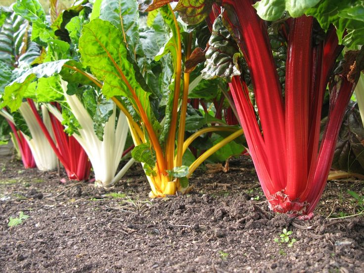 Chard plants come in many varieties and colors. The brightly colored ribs of the celerylike stems belong to the wellknown Swiss chard plant family. Learn about the different varieties of chard plants in this article.