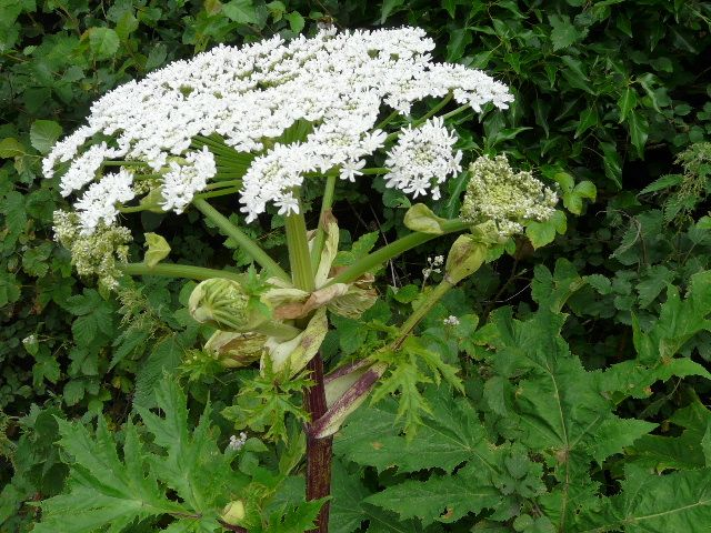Giant weed that burns and blinds spreads across Canada - Giant Hogweed