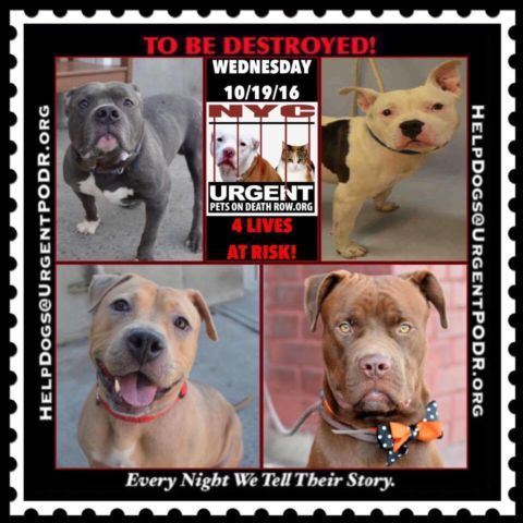 THE HOUSE OF HORROR NYC ACC HAS LISTED 4 PRECIOUS DOGS TO BE MURDERED 10/19/16 - - Info Please Share: To rescue a Death Row Dog, Please read this:http://information.urgentpodr.org/adoption-info-and-list-of-rescues/ To view the full album, please click here: http://nycdogs.urgentpodr.org/tbd-dogs-page/ Please Share:- Click for info & Current Status: http://nycdogs.urgentpodr.org/to-be-destroyed-4915/