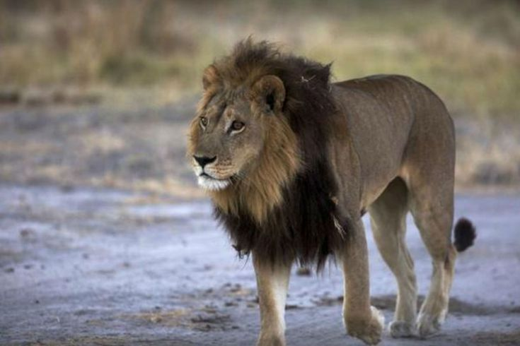 Mmamoriri the lioness is said to exhibit the physical characteristics of both genders.