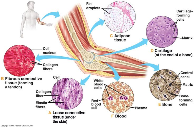 Connective tissue. It's all over the place, really...