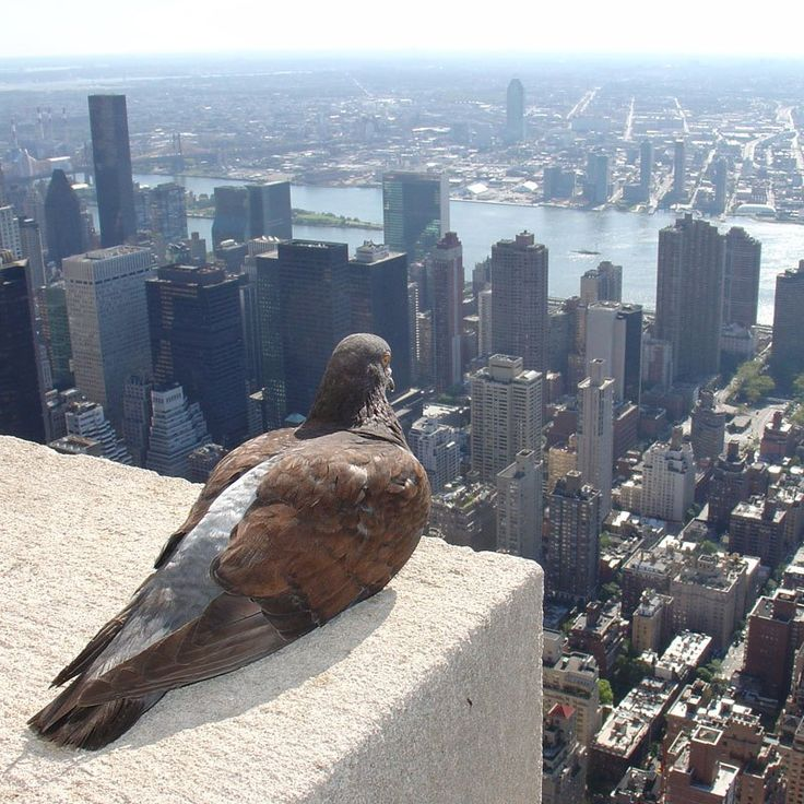 The City is Mine  In this fantastic capture by ZeroOne, we see a pigeon atop the Empire State Building, overlooking New York City below. Perhaps the pigeon is on the lookout for its next meal, or simply contemplating who will feel his wrath as he relieves himself mid-flight. Most likely, he's just enjoying the beautiful view of one of the world's great cities.