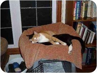 Seneca, MO - Domestic Shorthair. Meet Lilyah a Cat for Adoption.