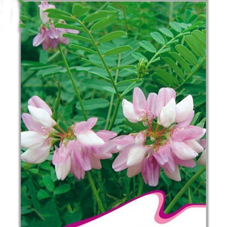 Amazon.com : Best Garden Seeds Beautiful Flower Coronilla Varia Seeds, Original Pack, 50 Seeds, Long Lasting Blooming Flowers Beautiful Garden Flower : Patio, Lawn & Garden