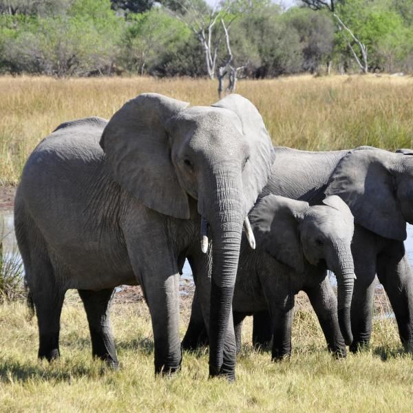 Cuánto pesa un elefante #elefante #animales #salvaje